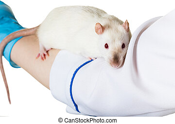 white rat sits on the hand
