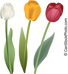 White, red and yellow tulip flower. Isolated