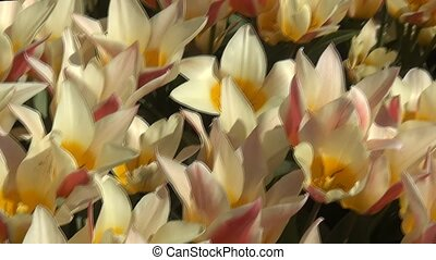 White-Red Tulips - Tulip (Tulipa) is a genus of...
