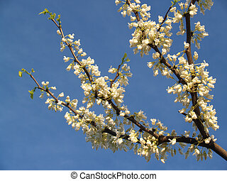 White Redbud Tree Branch - a less common redbud tree with...
