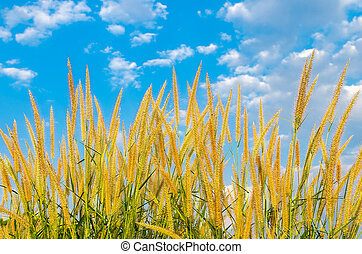 white reeds field on blue sky