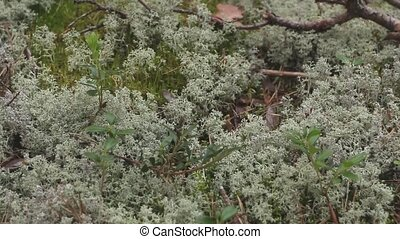 white reindeer moss close to, living northern nature, camera...