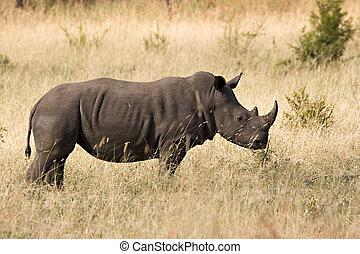 white rhino, alatt, kruger, liget