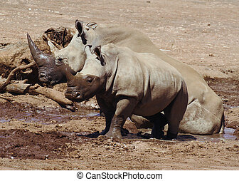 White rhino and baby