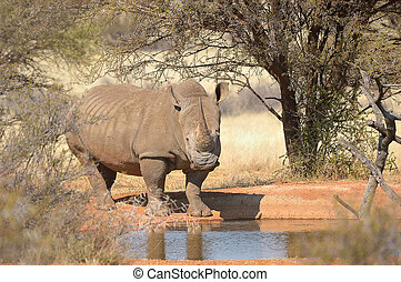 White rhino at waterhole