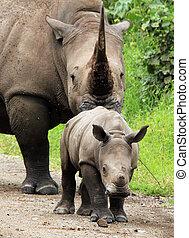 White Rhino Calf (Ceratotherium simum) With Mother, Lake Nakuru, Kenya