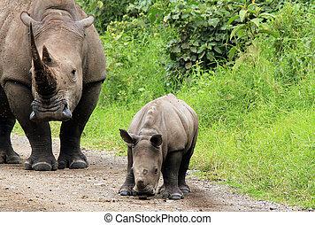 white rhino, (ceratotherium, simum), noha, borjú, tó,...