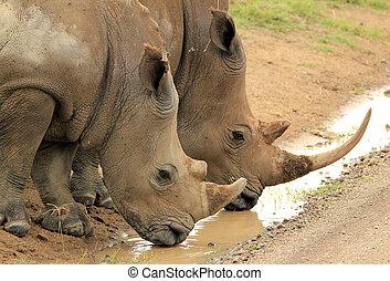 white rhino, (ceratotherium, simum), párosít, ivás, tó,...