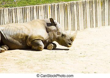 white rhino, (ceratotherium, simum)