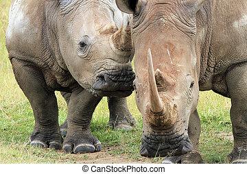 White Rhino (Ceratotherium Simum) Couple, Lake Nakuru, Kenya