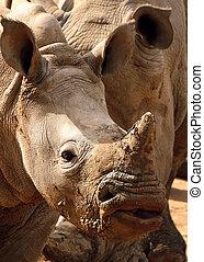White Rhino Closeup Face