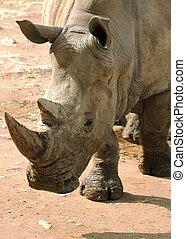 White Rhino Closeup