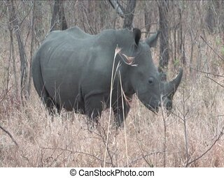 White Rhino in Kruger National Park