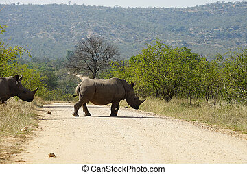 white Rhino in the Kruger National Park