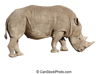 white rhino on a white background