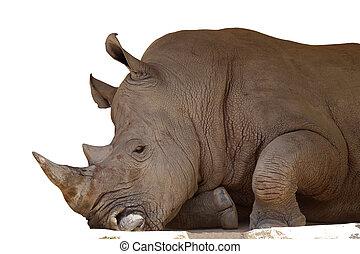 White rhino on a white.