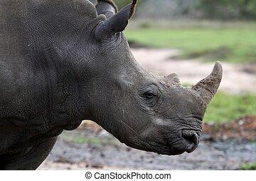 White Rhino Profile
