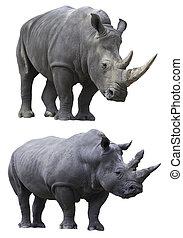white rhino rhinoceros - rhino rhinoceros big strong african...