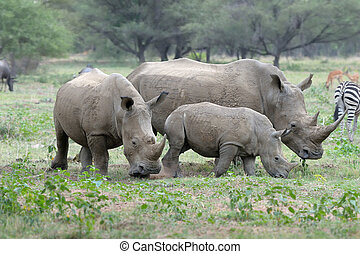 White rhino family grazing on grass field