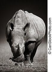 white rhinoceros, alatt, due-tone