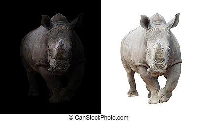 white rhinoceros, alatt, sötét, és, white háttér