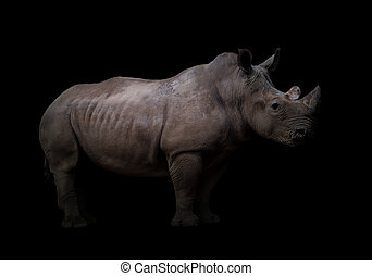 white rhinoceros, alatt, sötét háttér