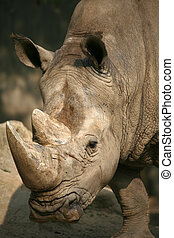 White Rhinoceros, also called: square-lipped rhinoceros, at the Zoo Muenster (Germany)
