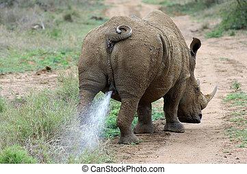 white rhinoceros, bika, vagy, square-lipped, orrszarvú,...