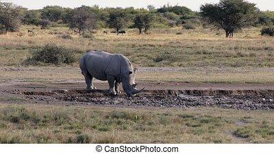 white rhinoceros Khama Rhino Sanctuary reservation, Botswana safari wildlife, Wild animal in the nature habitat. This is Africa.