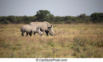 endangered white rhinoceros Khama Rhino Sanctuary reservation, species of rhino, Botswana wildlife, Wild animal in the nature habitat. Africa safari