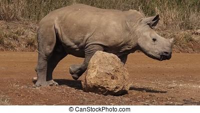 White Rhinoceros, ceratotherium simum, Calf scratching on...
