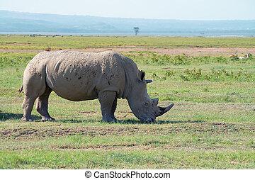 white rhinoceros, (, ceratotherium, simum)