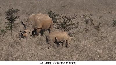 White Rhinoceros, ceratotherium simum, Mother and Calf,...