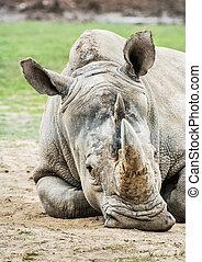 white rhinoceros, -, ceratotherium simum, simum, állat,...