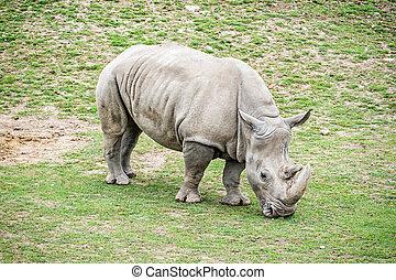 white rhinoceros, -, ceratotherium simum, simum