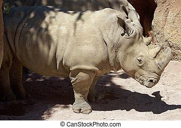 white rhinoceros, (ceratotherium, simum)