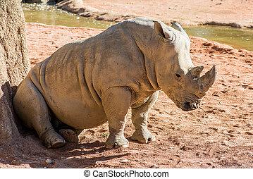 white rhinoceros, -, ceratotherium simum