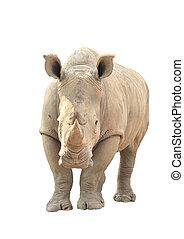 white rhinoceros, elszigetelt
