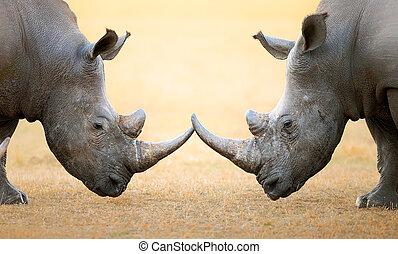 white rhinoceros, fő fő