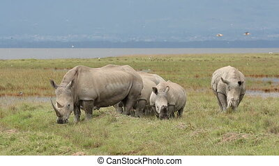 White rhinoceros (Ceratotherium simum) feeding in open grassland, Lake Nakuru National Park, Kenya