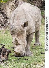 white rhinoceros, gyalogló