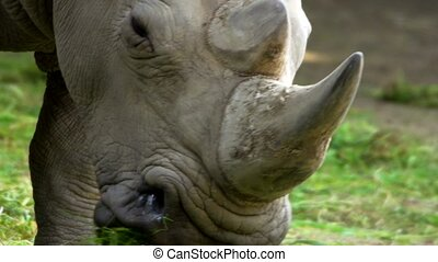 white rhinoceros in a zoo