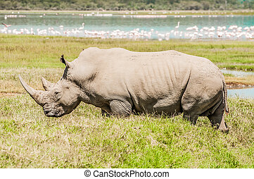 White Rhinoceros in Full View by Lake.