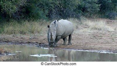 White rhinoceros Pilanesberg, South Africa safari wildlife -...