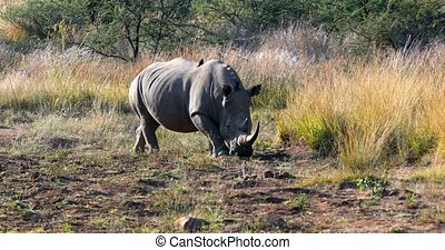 White rhinoceros Pilanesberg, South Africa safari wildlife