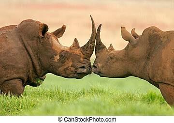 Portrait of two White (square-lipped) rhinoceros, South Africa
