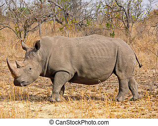 White Rhinoceros, South Africa - One of the rhinos under the...