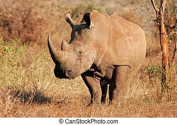 White rhinoceros - White (square-lipped) rhinoceros...