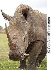 White Rhinoceros - Huge white rhinoceros with grass in it's...