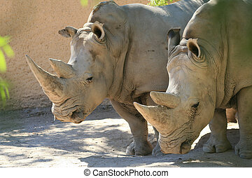 White Rhinos (Ceratotherium simum) - White rhinos...